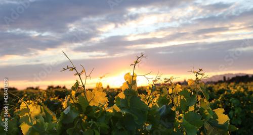 Fototapeta Weinberg in der Abendsonne  obraz
