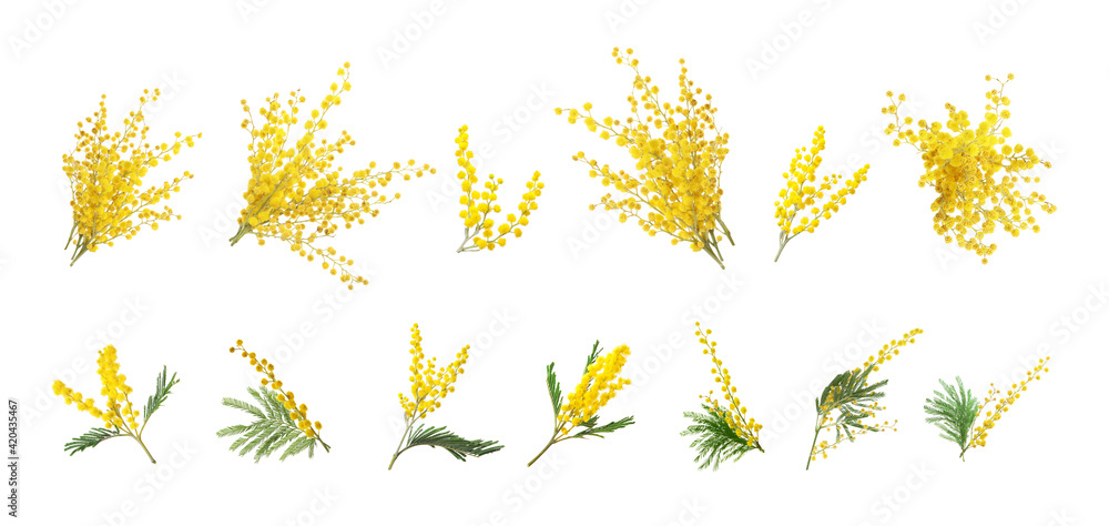 Fototapeta Set with bright yellow mimosa flowers on white background. Banner design