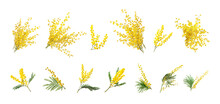 Set With Bright Yellow Mimosa Flowers On White Background. Banner Design