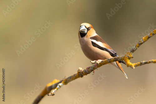 Fotografie, Obraz Male Hawfinch in breeding plumage with first morning light