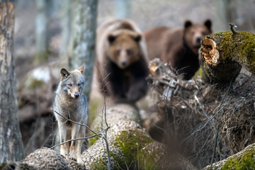 Wolf on a fallen tree with two bears in the background. Wild animal in the natural habitat
