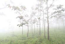 Krachiew Flowers On A Foggy Day In Pa Hin Ngam National Park In Thailand
