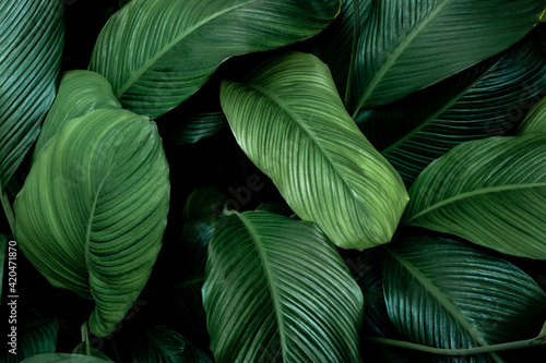 Fototapeta leaves of Spathiphyllum cannifolium, abstract green texture, nature background, tropical leaf obraz