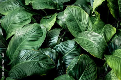 Fotografie, Obraz Full Frame of Green Leaves Texture Background. tropical leaf