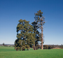 A Small Group Of Trees Stand Tall In A Paddock With A Blue Sky