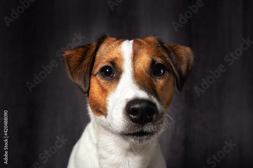 Tablou Canvas Jack Russell terrier portrait. close up