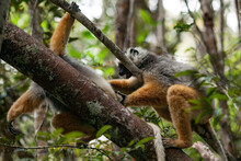 Two Colorful Lemurs Playing