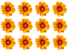 Set Of Flowers On White Background, Gazania Linearis Or Treasure Flowers On White Background