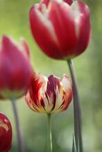 Virus In Tulip
