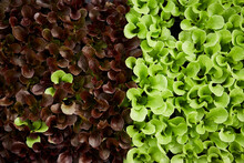 Closeup Of Baby Lettuce Greens