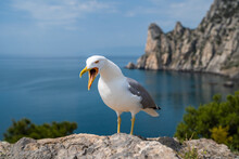 Close Up Portrait Of Screaming Seagull, White Bird With Orange Beak Against Blue Clear Sky, Wildlife Scene From Nature