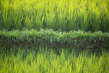 Rice Field. Bali. Indonesia.