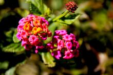 Lantana Camara Flowers In The Garden