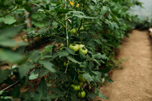 Organic Tomatoes Growing In The Greenhouse