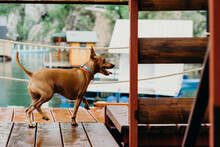 Miniature Pinscher Running On The Boathouse