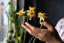 Closeup Shot Of Beautiful Narcissus Flower At Home.