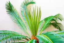 Cycas Palm In A Greenhouse Against The Wall.