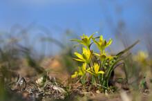 Gagea Pratensis Spring Wild Flower