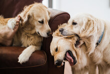 Golden Retriever Watching 2 Others Play