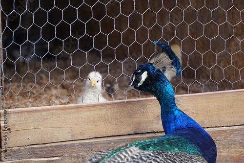 Slika na platnu brazilian farm animals