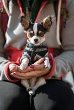 Adorable Long Hair Chihuahua Dog