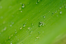 Soft Focus Lens Photo With Green Wide Leaf With Waterdrops As Botanical Backdrop