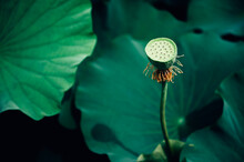 Lotus Seeds In The Pond