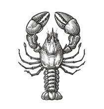 Drawing Of Lobster For Menu Or Label. Seafood In Vintage Engraving Style. Sketch Vector Illustration