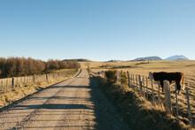 Cow Standing Beside Road