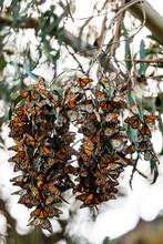 Colorful Butterflies Hibernating In Tree
