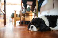 Small Spaniel Under The Table