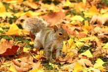 Eastern Gray Squirrel In Fall