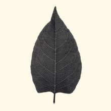 Lightboxed Leaf, Sepia Toned