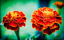 Two Colorful Marigold Flowers Closeup In The Garden, Filtered Image
