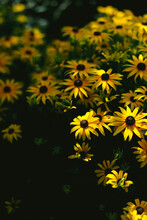 Rudbeckia Flowers In Late Afternoon Light