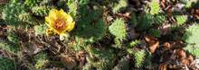 Close Up Flower Of Cactus