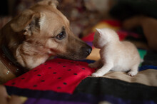 Dog Meets Small Kitty