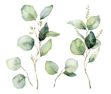 Watercolor Floral Set Of Eucalyptus Seeds, Branches And Leaves. Hand Painted Silver Dollar Eucalyptus Isolated On White Background. Illustration For Design, Print, Fabric Or Background.