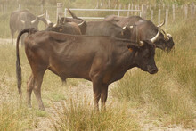 One Of The All Brown  And Fierce Bulls Of The Camargue Race In A Marshland Prairie