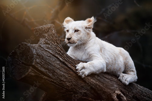Photo sleeping lion cub