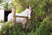 Speckled White Horse Standing Behind A Wooden Log Fence