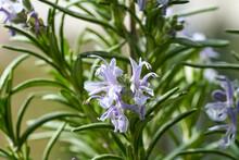 Fresh Blooming Rosemary Twigs, Closeup