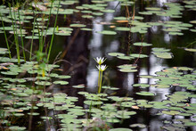Two White Lily Flowers Centered Among The Swampy Water And Vegetation.