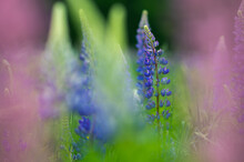 Colorful Summertime Lupines