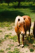 Brown Mini Horse In The Fields