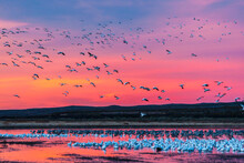 USA, New Mexico, Bosque Del Apache National Wildlife Refuge. Snow Geese At Sunset.