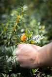 Cloudberry picking
