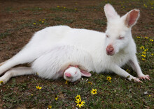 Portrait Of Wallaby Albino With Cub