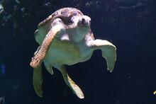 Meeresschildkröte Im Zoo Schmiding, Krenglbach, Oberösterreich, Österreich, Europa - Sea Turtle In Schmiding Zoo, Upper Austria, Austria, Europe