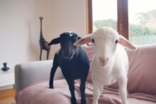 Baby Lambs In Nappies Around The House.